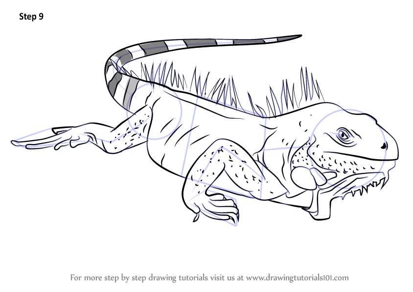 Learn How To Draw Iguana Lizard Reptiles Step By Step