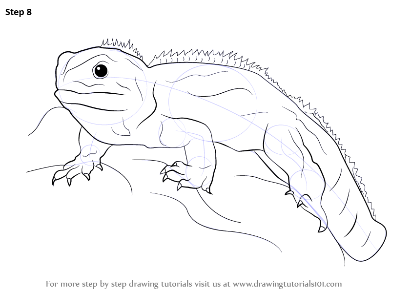 Learn How to Draw a Tuatara Reptiles Step by Step Drawing