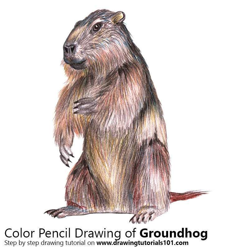 Groundhog Color Pencil Drawing