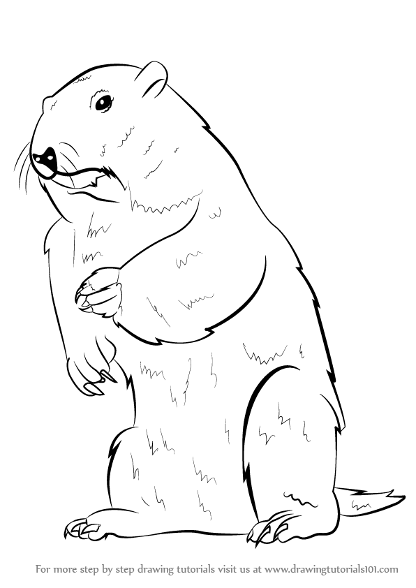 learn how to draw a groundhog rodents step by step drawing tutorials