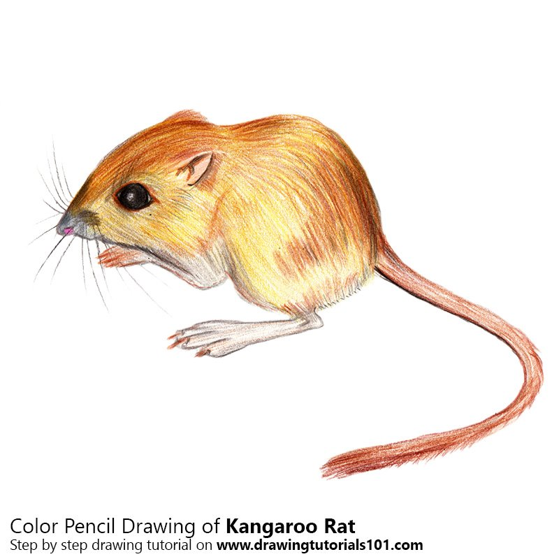 Kangaroo Rat Color Pencil Drawing