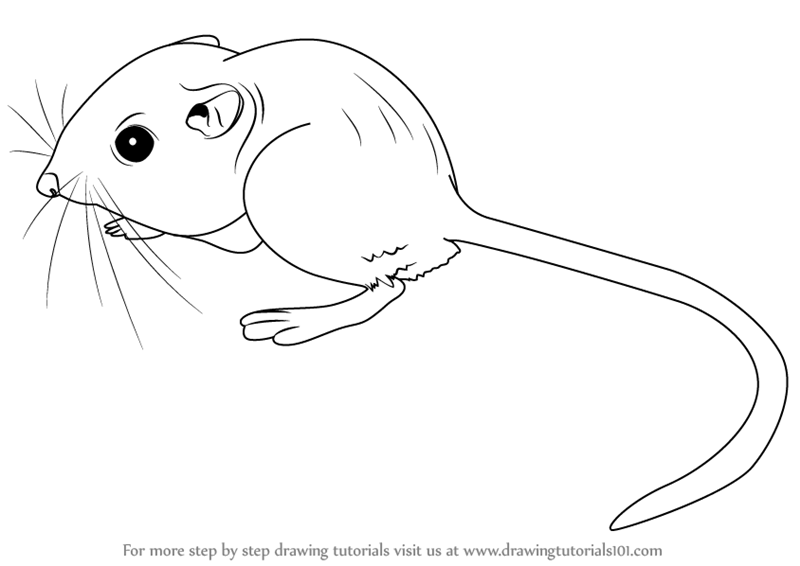 Line Drawing Rat : Learn how to draw a kangaroo rat rodents step by