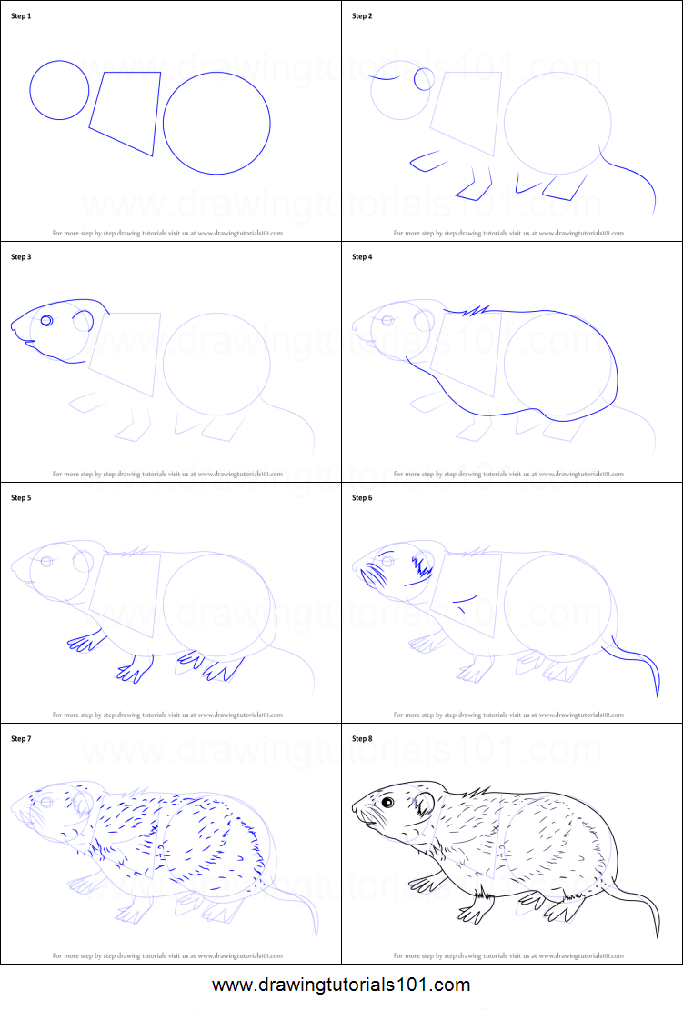 How to Draw a Meadow Vole printable step by step drawing ...