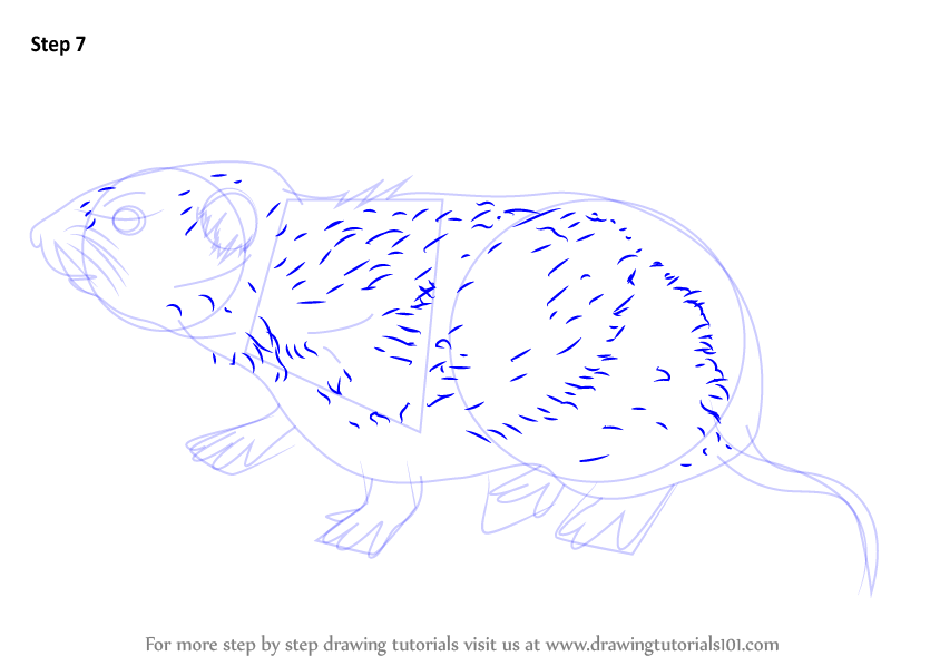 Learn How to Draw a Meadow Vole (Rodents) Step by Step ...