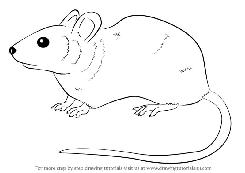 Learn how to draw a mouse rodents step by step drawing tutorials