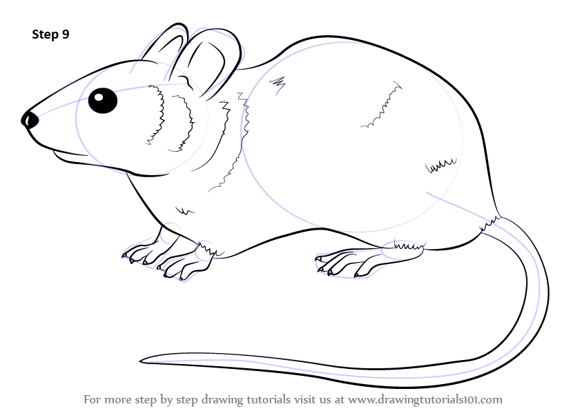 learn how to draw a mouse rodents step by step drawing