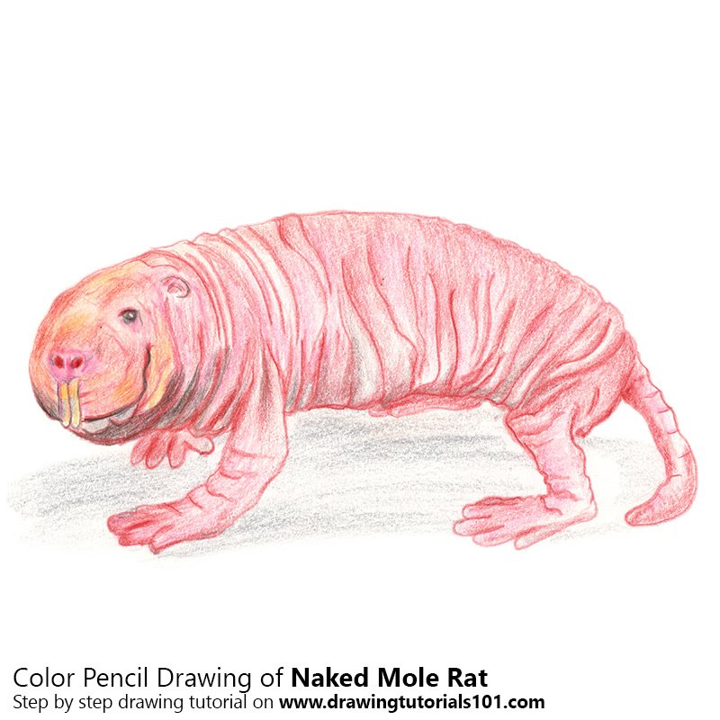 naked mole rat color pencil drawing