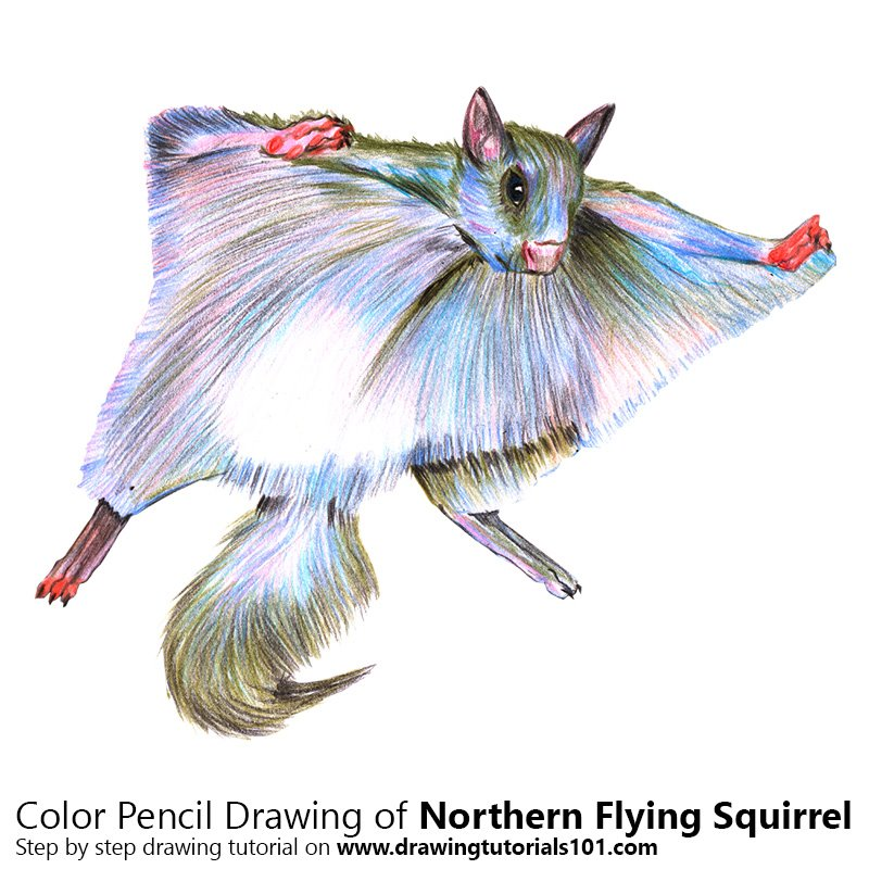 Northern Flying Squirrel Color Pencil Drawing