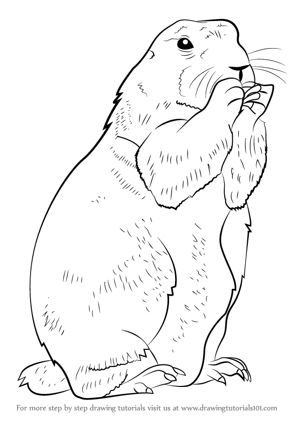 Learn How To Draw A Prairie Dog Rodents Step By Step Drawing