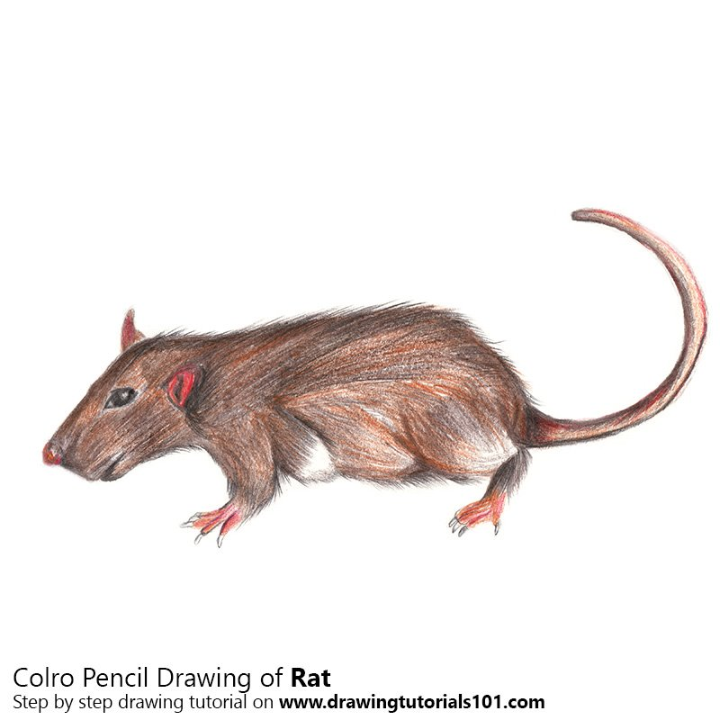 Rat Color Pencil Drawing