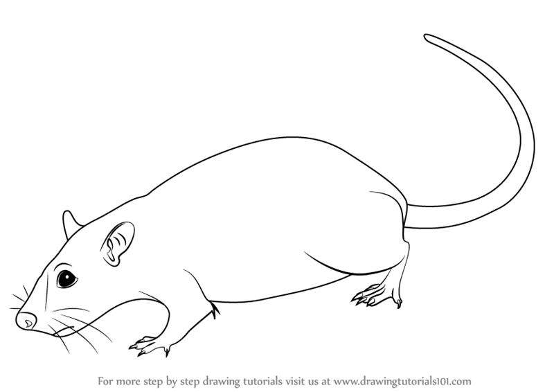 Line Drawing Rat : Learn how to draw a rat rodents step by drawing
