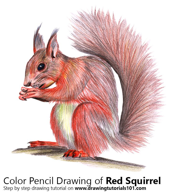 Red Squirrel Color Pencil Drawing