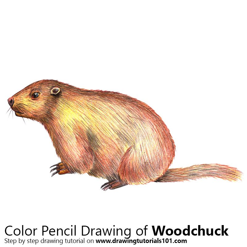 Woodchuck Color Pencil Drawing
