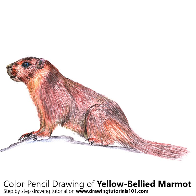 Yellow-Bellied Marmot Color Pencil Drawing