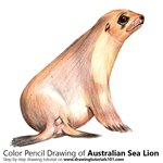 How to Draw an Australian Sea Lion