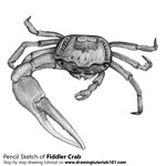 Fiddler Crab Pencil Sketch