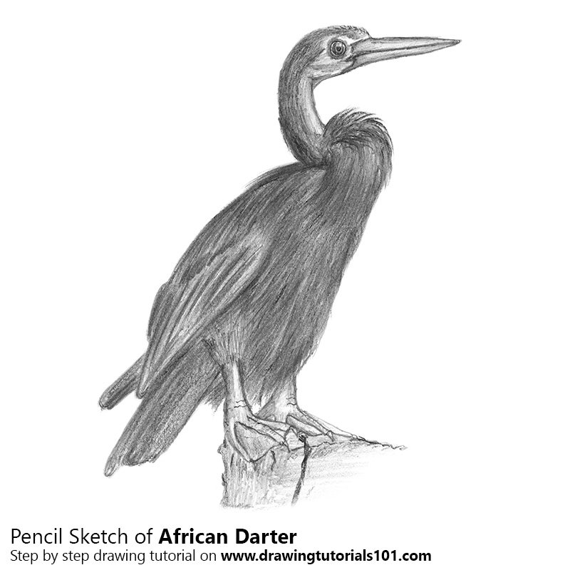 Pencil Sketch of African Darter - Pencil Drawing