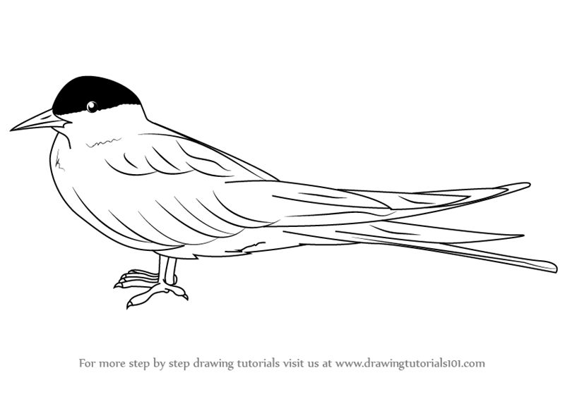 Step By Step How To Draw An Arctic Tern