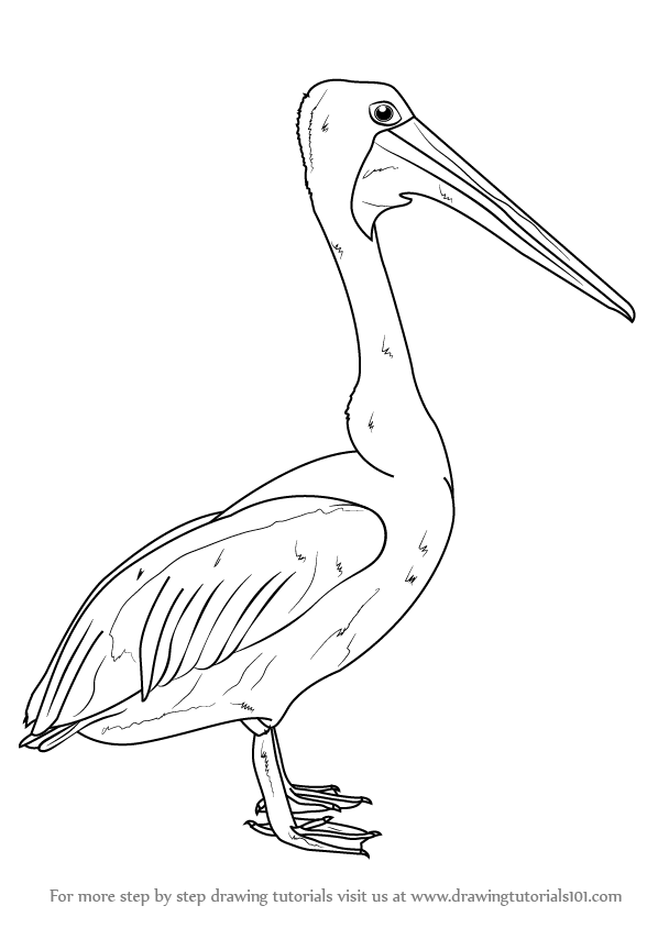 learn how to draw an australian pelican seabirds step by step