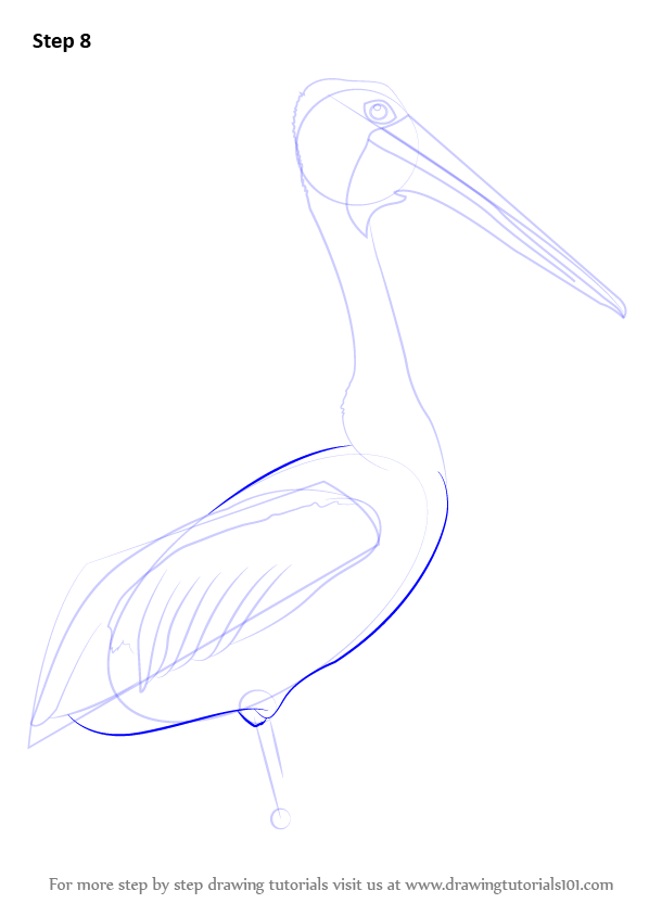 Learn How To Draw An Australian Pelican (Seabirds) Step By