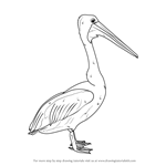 How to Draw an Australian Pelican