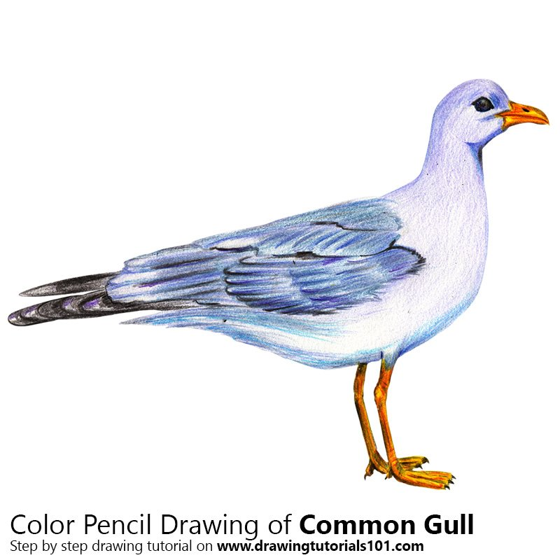 Common Gull Color Pencil Drawing