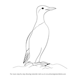 How to Draw a Common Murre