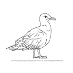 How to Draw a Glaucous Gull