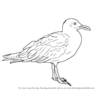 How to Draw a Glaucous-winged gull