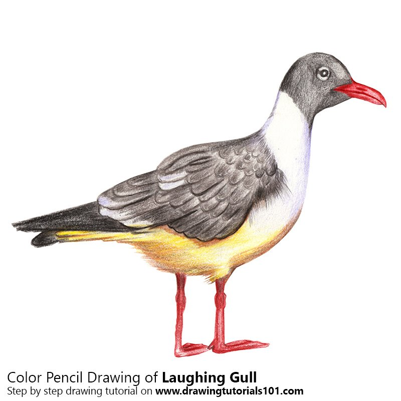 Laughing Gull Color Pencil Drawing