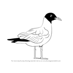 How to Draw a Laughing Gull