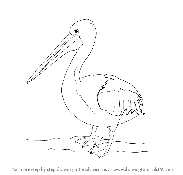 Learn How to Draw a Pelican (Seabirds) Step by Step : Drawing ...