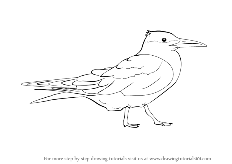 Learn How To Draw A Tern Seabirds Step By Step Drawing