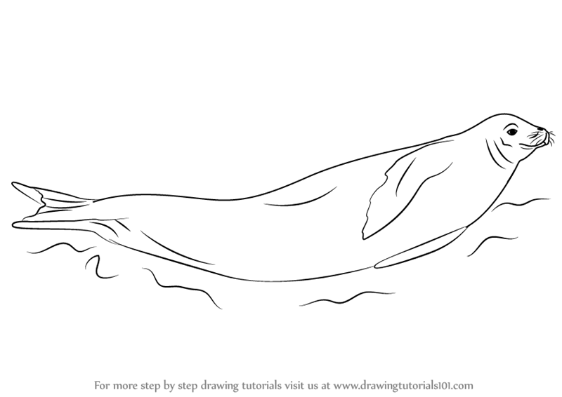 Learn How To Draw A Crabeater Seal Seals Step By Step