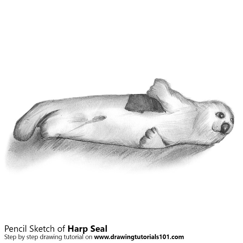harp seal pencil drawing how to sketch harp seal using pencils