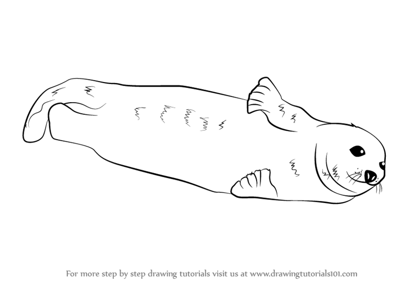 learn how to draw a harp seal seals step by step drawing tutorials