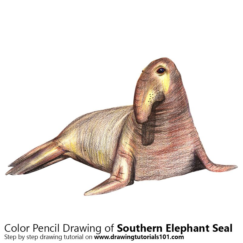 Southern Elephant Seal Color Pencil Drawing