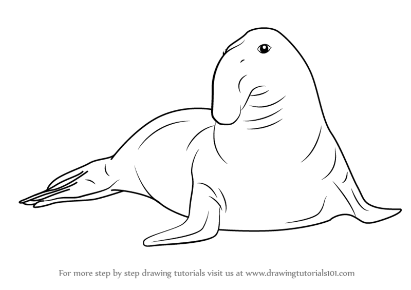 Step By Step How To Draw A Southern Elephant Seal