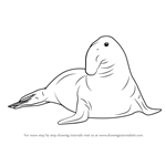 How to Draw a Southern Elephant Seal