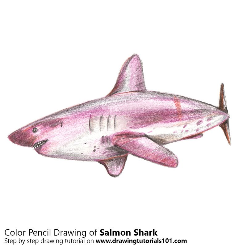 Salmon Shark Color Pencil Drawing