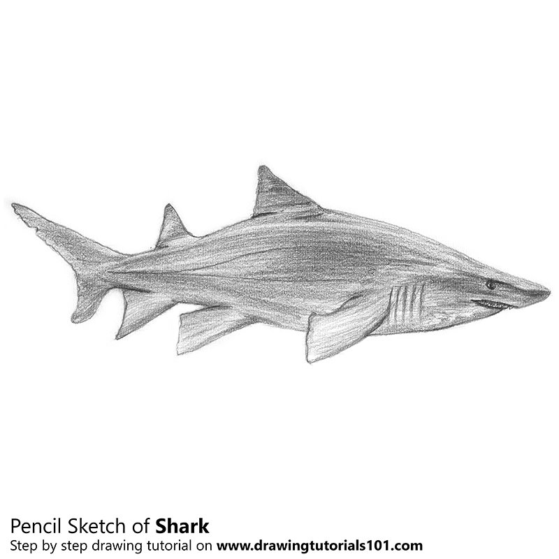 Shark Pencil Drawing - How to Sketch Shark using Pencils ...