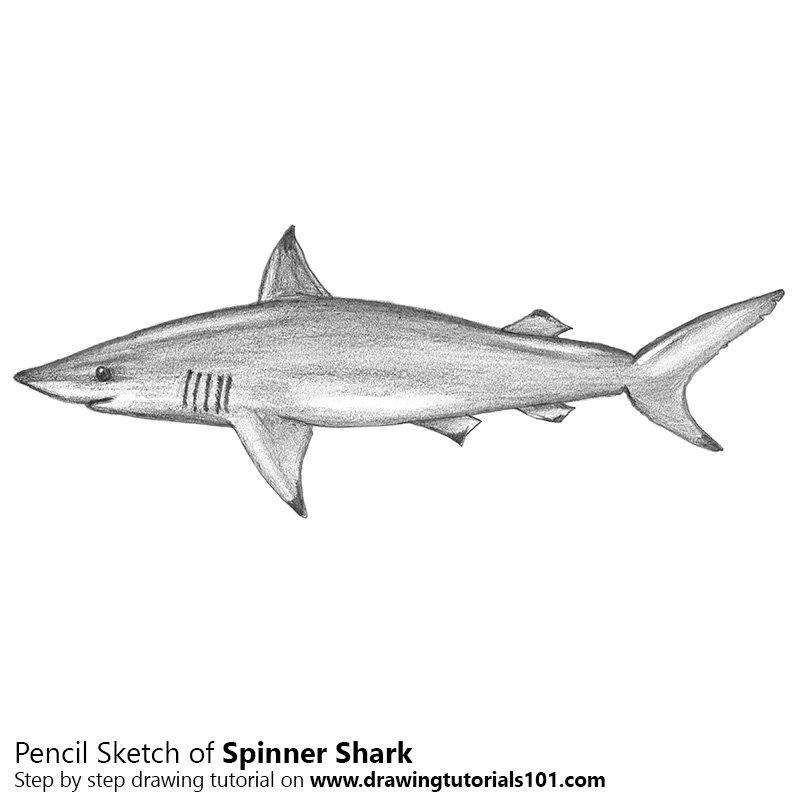 spinner shark pencil drawing how to sketch spinner shark using