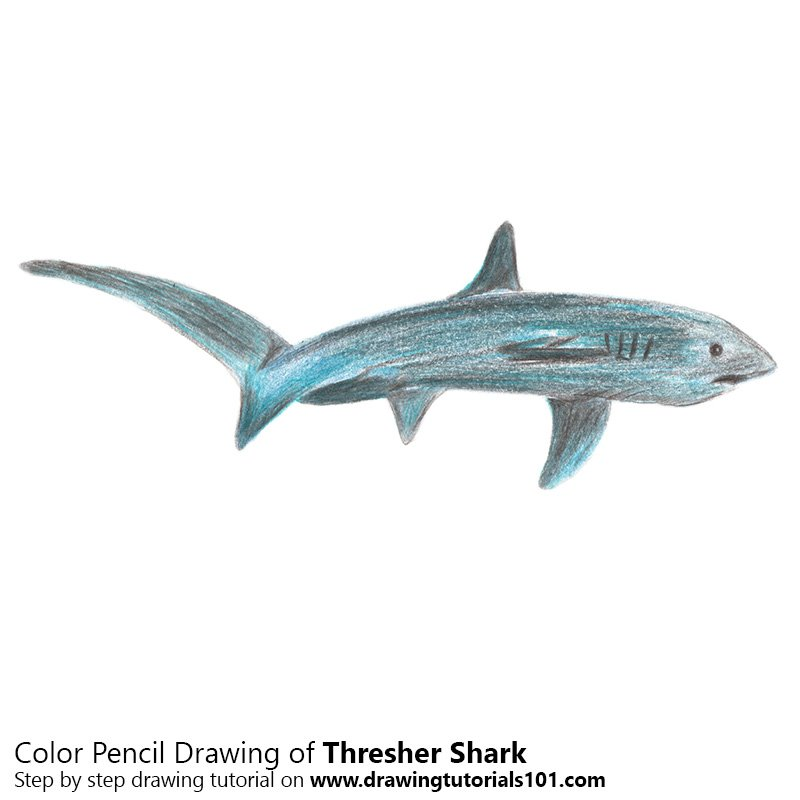 Thresher Shark Color Pencil Drawing