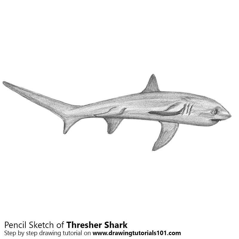 Thresher shark colored pencils drawing thresher shark for Thresher shark coloring page