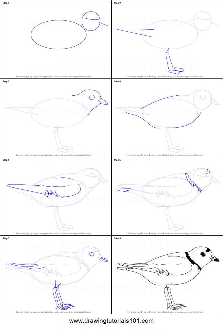 How to Draw a Piping Plover printable