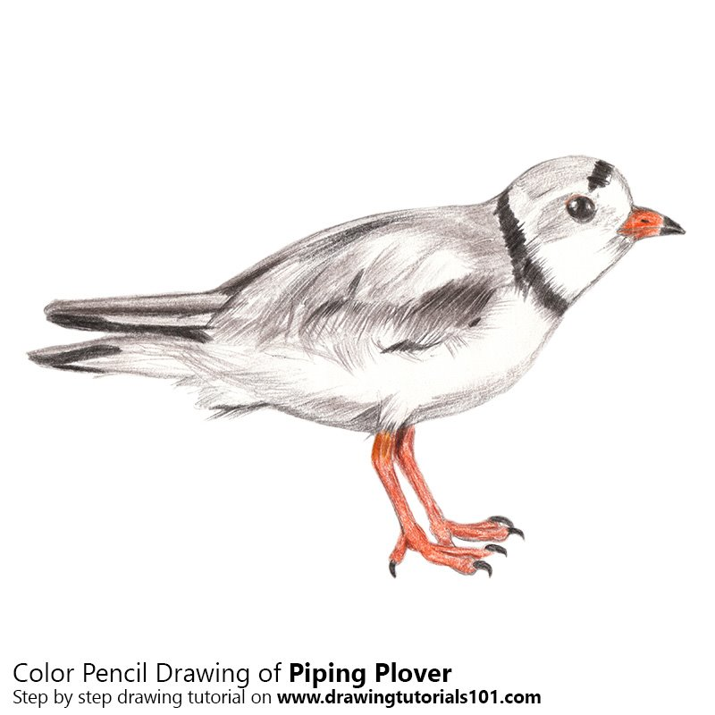 Piping Plover Color Pencil Drawing