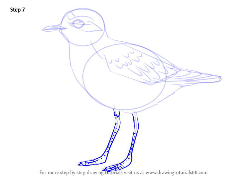 Learn How To Draw A Snowy Plover Shorebirds Step By Step
