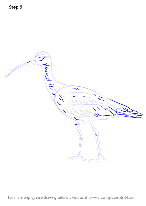 Learn How to Draw a Whimbrel (Shorebirds) Step by Step ...