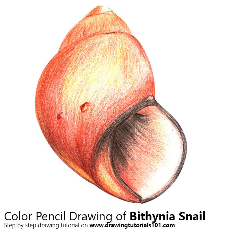 A Bithynia Snail Color Pencil Drawing