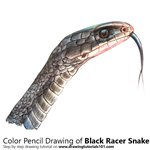 How to Draw a Black Racer Snake
